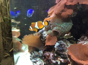 pez payaso Nemo