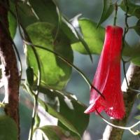 #DIY Cómo cultivar un copihue en casa